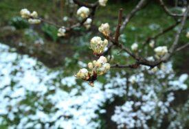 VEĆ PRIČINJENA ŠTETA Voćari trebaju zaštiti biljke, naredna dva dana očekuje se mraz
