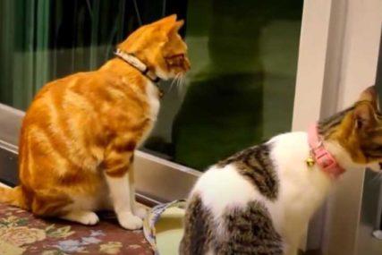 ZARAZA PRIJETI I ŽIVOTINJAMA Dvije mačke POZITIVNE na korona virus