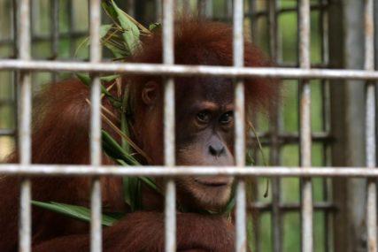 PROVODE DANE U HARMONIJI Orangutani i vidre u zoološkom vrtu postali NAJBOLJI PRIJATELJI (FOTO)