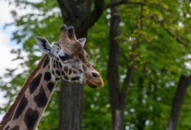 LOŠA SIGNALIZACIJA I BRZA VOŽNJA Vozači ubili skoro 600 divljih životinja