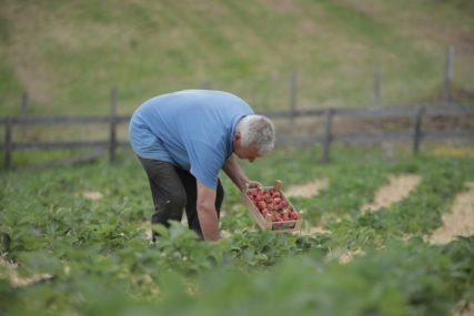 LOŠA SEZONA GA NE OBESHRABRUJE Proizvođača iz Turjaka opčinila proizvodnja jagoda
