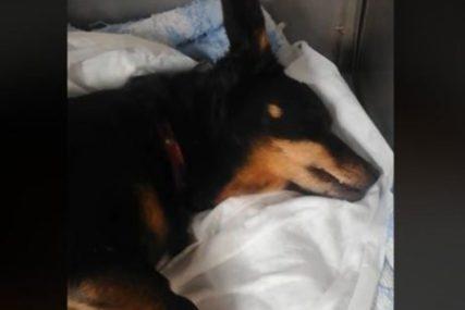 KAJA NIJE IZDRŽALA Pas kojem je dječak zabio ekser u glavu izgubio bitku za život (VIDEO)