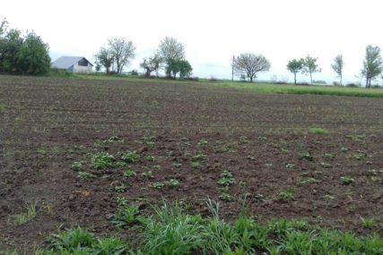 RATARI U BORBI ZA USJEVE Insekti napadaju kukuruzne oranice u Semberiji