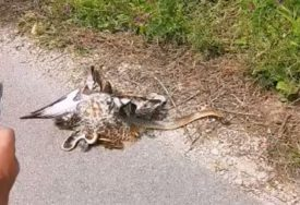 "SA SEZONOM LOVA STIGLE NOVE OPASNOSTI Lovci spasli jastreba iz ""zagrljaja"" zmije (VIDEO)"