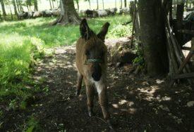 Uzgaja stare autohtone vrste životinja: Igor je kupio imanje i odlučio da tamo napravi svoje parče raja
