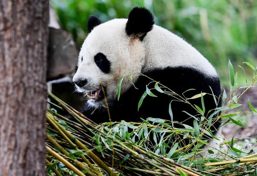 NESTAŠNA ŽIVOTINJA JEDVA VRAĆENA Panda POBJEGLA I LUTALA zoološkim vrtom