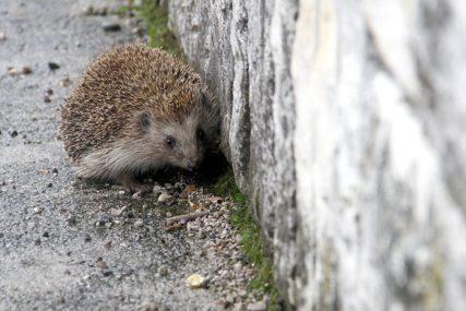 BEZDUŠNI STANAR Nervirao ga lavež psa koji se igrao sa ježom, pa bodljikavu životinju živu bacio u kontejner