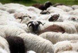 PREVARANTI NADMUDRILI STARICU Lažni veterinari uzeli ženi novac od prodaje jagnjadi