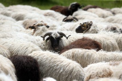 Nezapamćen krvavi pir na Goliji: Medvjedi razvalili krov i zid, upali u štalu i klali ovce