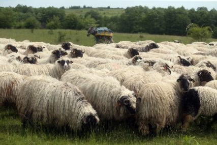 """""""Najvažnije da nije bilo ljudskih žrtava"""" Grom usmrtio stado ovaca, letjele su u vazduh više od tri metra"""