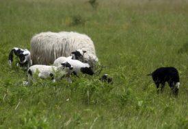 Priroda zna da iznenadi, ali i da dobro nagradi: U selu Šeškovci ovca ojagnjila petorke