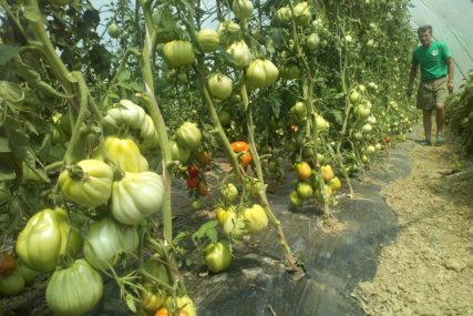 POVRTLARI U PROBLEMIMA Velike vrućine i divljač nanose štetu povrću