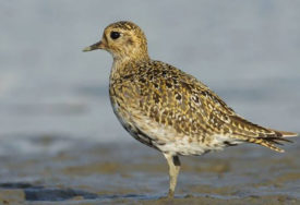 ODMARALA NA OBALI JEZERA Kod Sjenice uočena ptica koja živi samo na Tihom okeanu