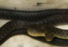 DOBRO IH JE NAMUČILA Zmija se uvukla u mašinu za suđe, pri izvlačenju PRUŽALA OTPOR (FOTO)