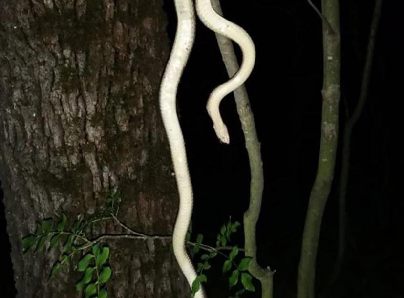 LJUDI U ŠOKU Pronađen primjerak zmije dugačke SKORO DVA METRA