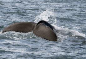 INCIDENT NA OBALI MORA Još jedan napad grbavog kita, povrijeđena žena