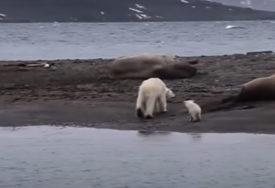 POSLJEDICE KLIMATSKIH PROMJENA Polarni medvjedi bi mogli izumrijeti do kraja 21. vijeka