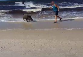BILA UPLAŠENA KAO I LJUDI Divlja svinja izletjela iz mora i napravila POMETNJU NA PLAŽI (VIDEO)