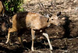 SPASAO SRNDAĆA SIGURNE SMRTI Plemeniti lovac pomogao povrijeđenoj životinji