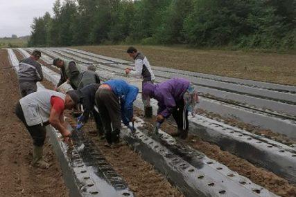 KORISNICI IMAJU OBUKU Tri gazdinstva organizovala zasad 13.500 živica jagode