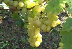 POVEĆAN SADRŽAJ PESTICIDA NA VOĆU Zabranjen uvoz 12.426 kilograma grožđa iz Albanije