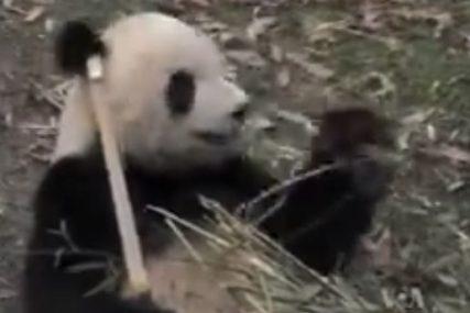 Panda pobjegla iz kaveza i napravila haos: Počela da ujeda čuvare u zoo-vrtu, jednog umalo UBILA