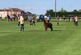 NEZVAN GOST NA TERENU Alpaka prekinula amatersku utakmicu u Engleskoj (VIDEO)