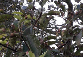 NI NAJSTARIJI OVO NE PAMTE Na Sokocu u septembru procvjetala jabuka