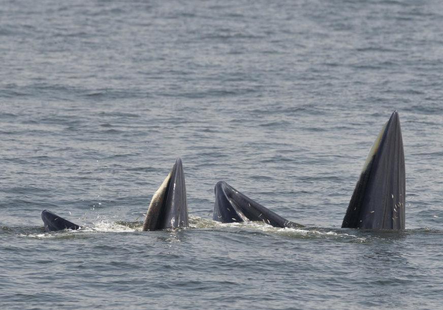 POGREŠNO SKRETANJE Grbavi kit zalutao u rijeku punu krokodila