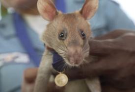 SMATRALO SE DA JE NEPOPRAVLJIVA Naučnici uspjeli da paralizovani miševi prohodaju uspostavljajući neuronsku vezu