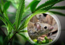 MIŠ NA ODVIKAVANJU OD DROGE Postao GLOBALNI HIT jer se onesvijestio od marihuane (FOTO)