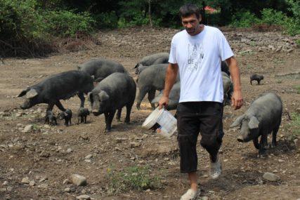 FAJFERICE PONOVO NA KOZARI Gradsku vrevu zamijenio farmom autohtone sorte svinja
