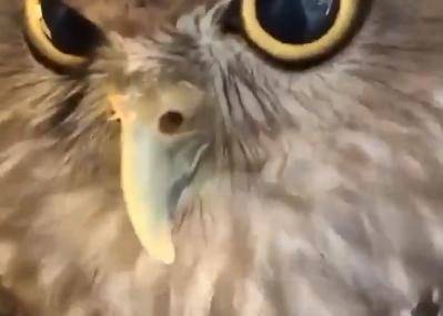 KAD ZALAJE UMILJATIM GLASOM Poslušajte kako zvuči kada sova umisli da je pas (VIDEO)