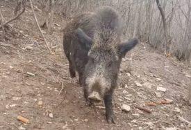 NEOBIČNA POJAVA Divlja svinja prošetala centrom Soluna