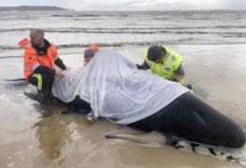 NEMA VIŠE NADE NI ZA JEDNOG Počelo odlaganje 350 uginulih kitova, 108 spaseno