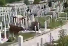 NADLEŽNI SE IZVINILI GRAĐANIMA Krave pasle travu na gradskom groblju (VIDEO)