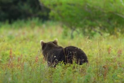 Mještani vidjeli divlju životinju: Medvjed na Ozrenu oštetio hranilice
