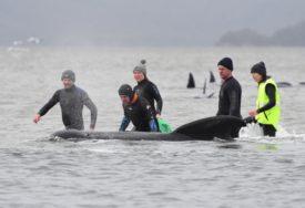 UGINULO NAJMANJE 90 Masovno nasukavanje kitova u Australiji