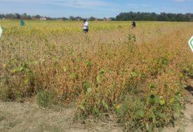 ZADOVOLJNI SEZONOM Kukuruz u Semberiji nije podbacio, ZARADA na soji manja od očekivane