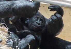 """TO NAS JE POTRESLO"" Trka  za vakcinom dovela do nestašice majmuna"