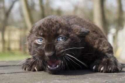BIJESNA ŽIVOTINJA NASRNULA NA POSJETIOCA Crni leopard napao čovjeka u dvorišnom zoološkom vrtu