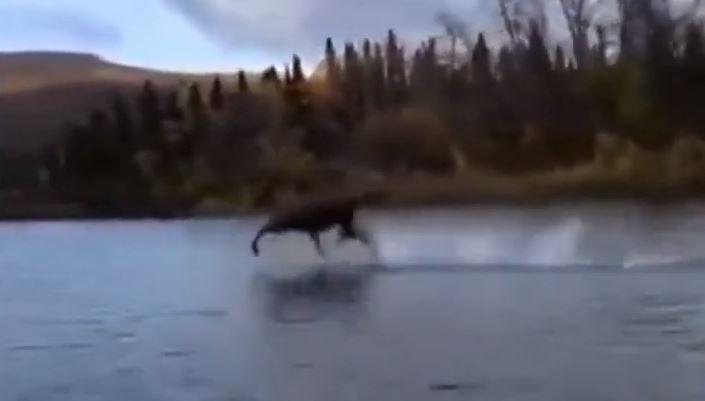 NEVJEROVATNO Los trčao po vodi, usijale se društvene mreže (VIDEO)