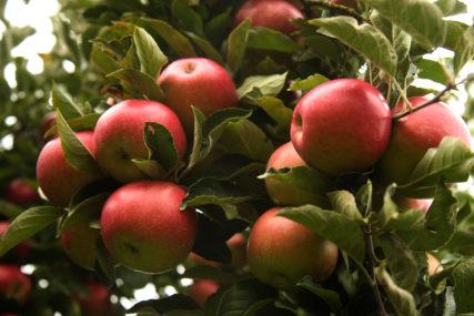 Smanjen prinos, dobar kvalitet: Berba jabuke u punom jeku