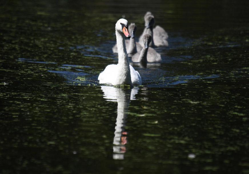 STRAH OD GRIPA H5N8 Holandija naredila da se ptice drže u zatvorenom