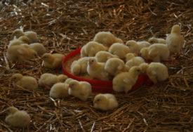 UGINULO 600 PERADI  Registrovan ptičji grip na zapadu zemlje