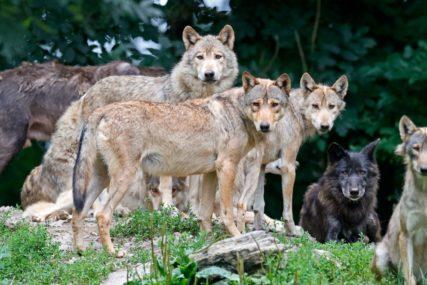 ČOPOR VUKOVA SAČUVAO PRIRODU Biljni svijet nacionalnog parka bio pred izumiranjem, onda desilo ČUDO