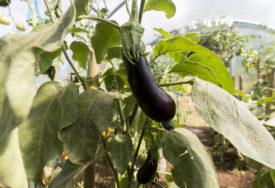 TIKVICE IM DOŠLE GLAVE Desetine ljudi tokom pandemije otrovalo se povrćem koje su uzgajali