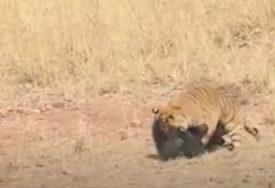 MEDVJED PROTIV TIGRA Nevjerovatna borba ratobornih zvijeri, život u šumi NIJE LAK (VIDEO)