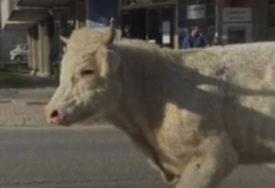 ISTRČAO IZ KAMIONA, UMALO UBIO ČOVJEKA Hrvatima bik pobjegao s ulaza u klanicu, traže ga od juče (VIDEO)