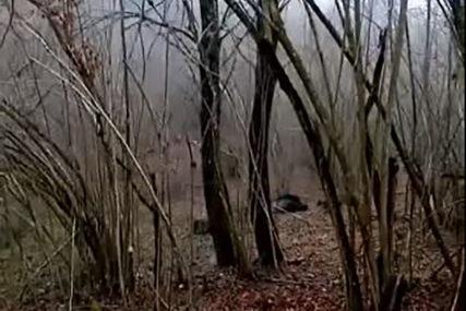 DRAMA U LOVIŠTU KOD BANJALUKE Ranjeni vepar povrijedio mladog lovca, ZAVŠIO NA OPERACIJI (VIDEO)